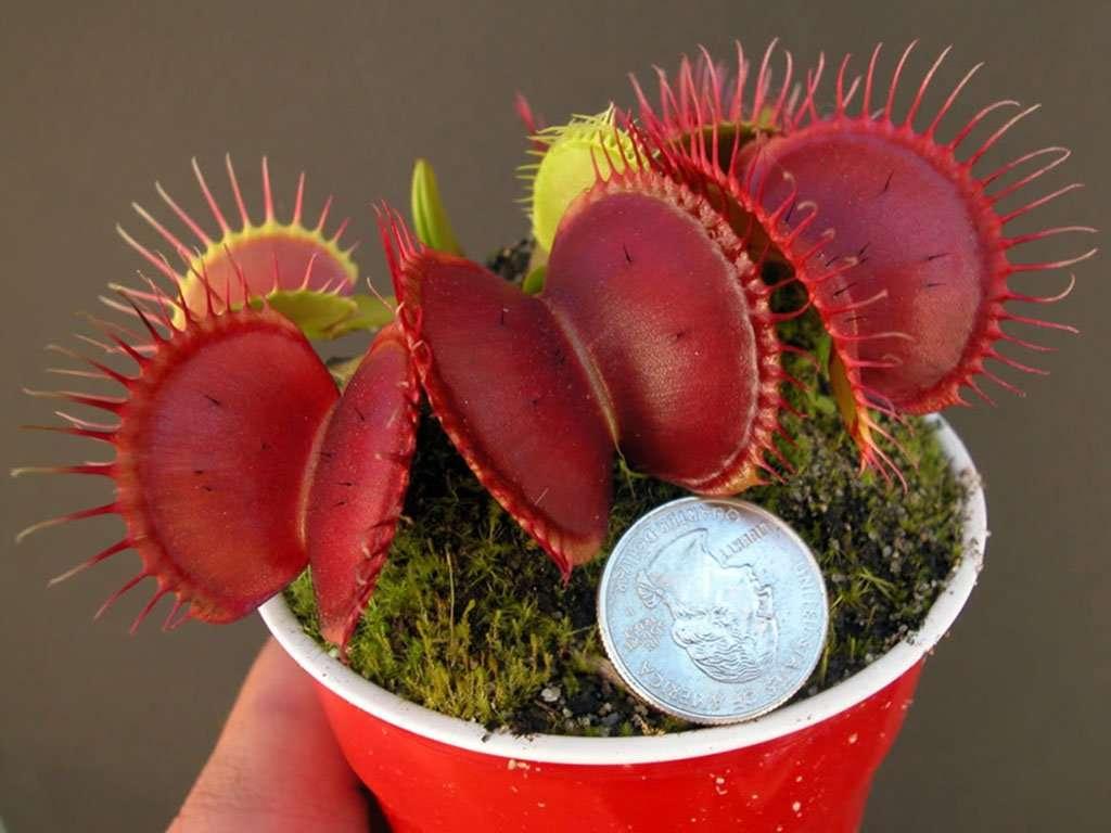Dionaea muscipula B-52