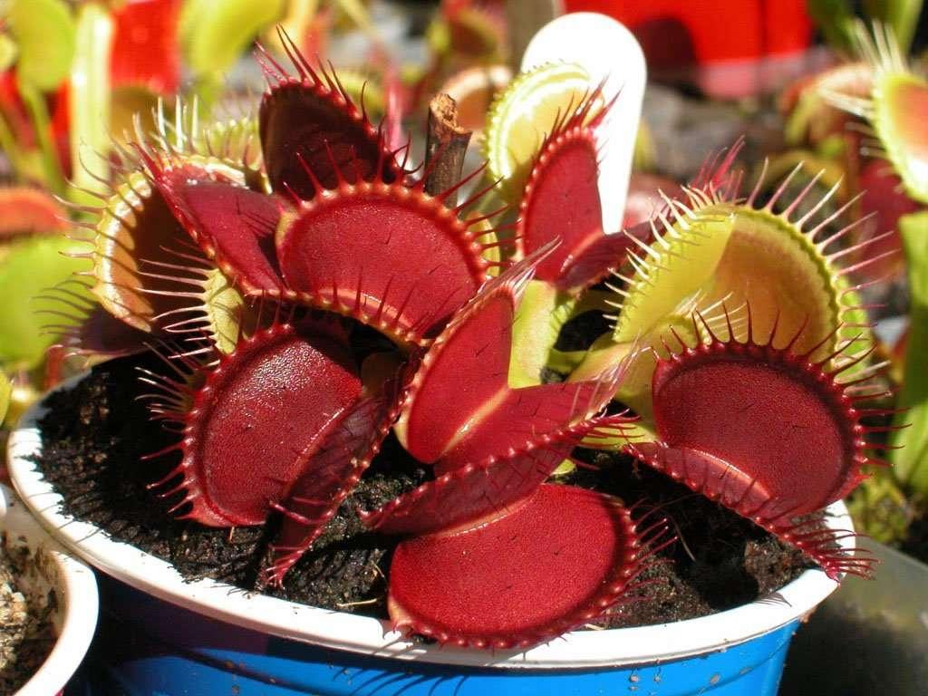venus flytrap b52
