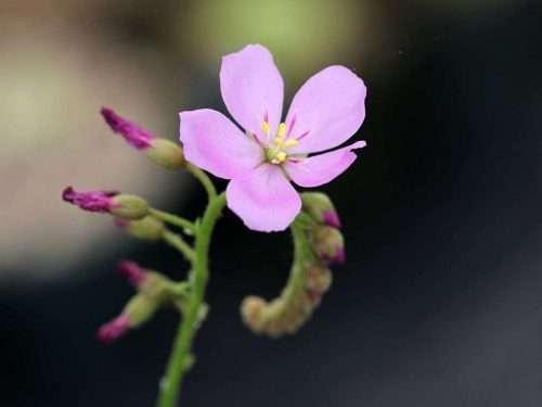 Drosera capensis flower