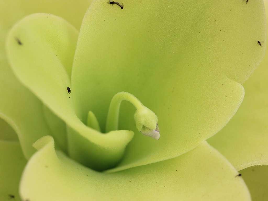 flowering stalk emerging on P gigantea