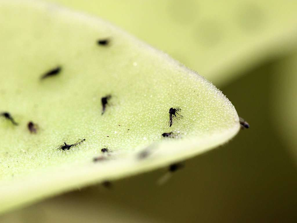 Pinguicula gigantea leaf with insects