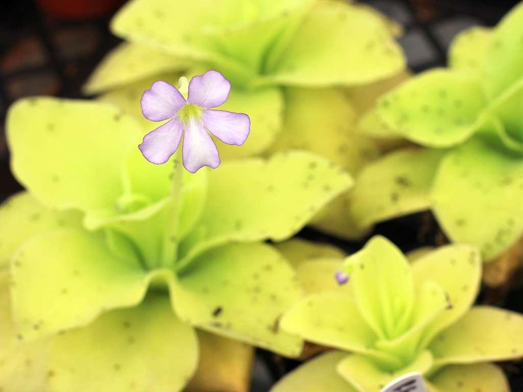 flowering Pinguicula gigantea