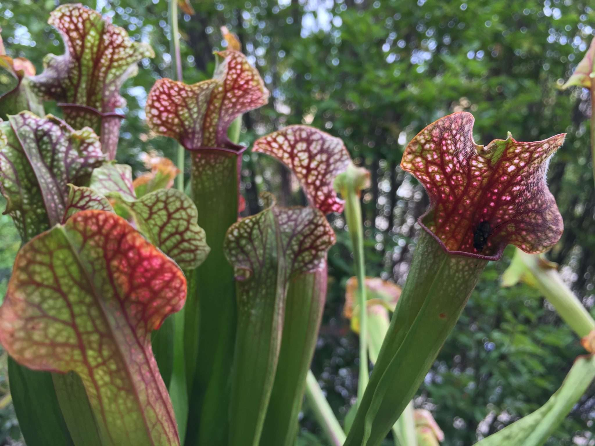 fly about to get eaten by Sarracenia Judith Hindle