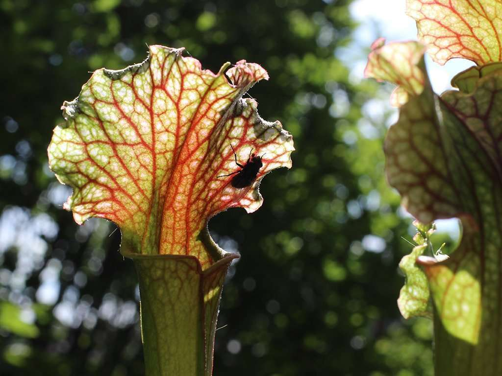 fly on Judith Hindle pitcher plant