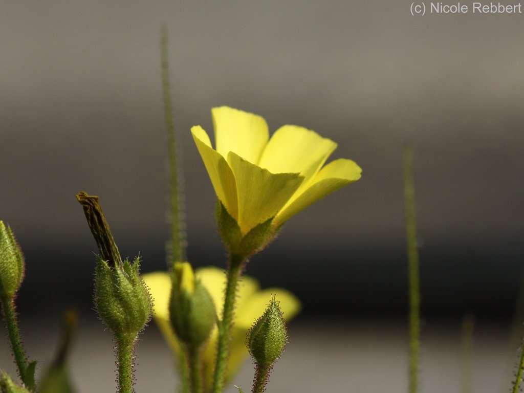 Dewy Pine flower