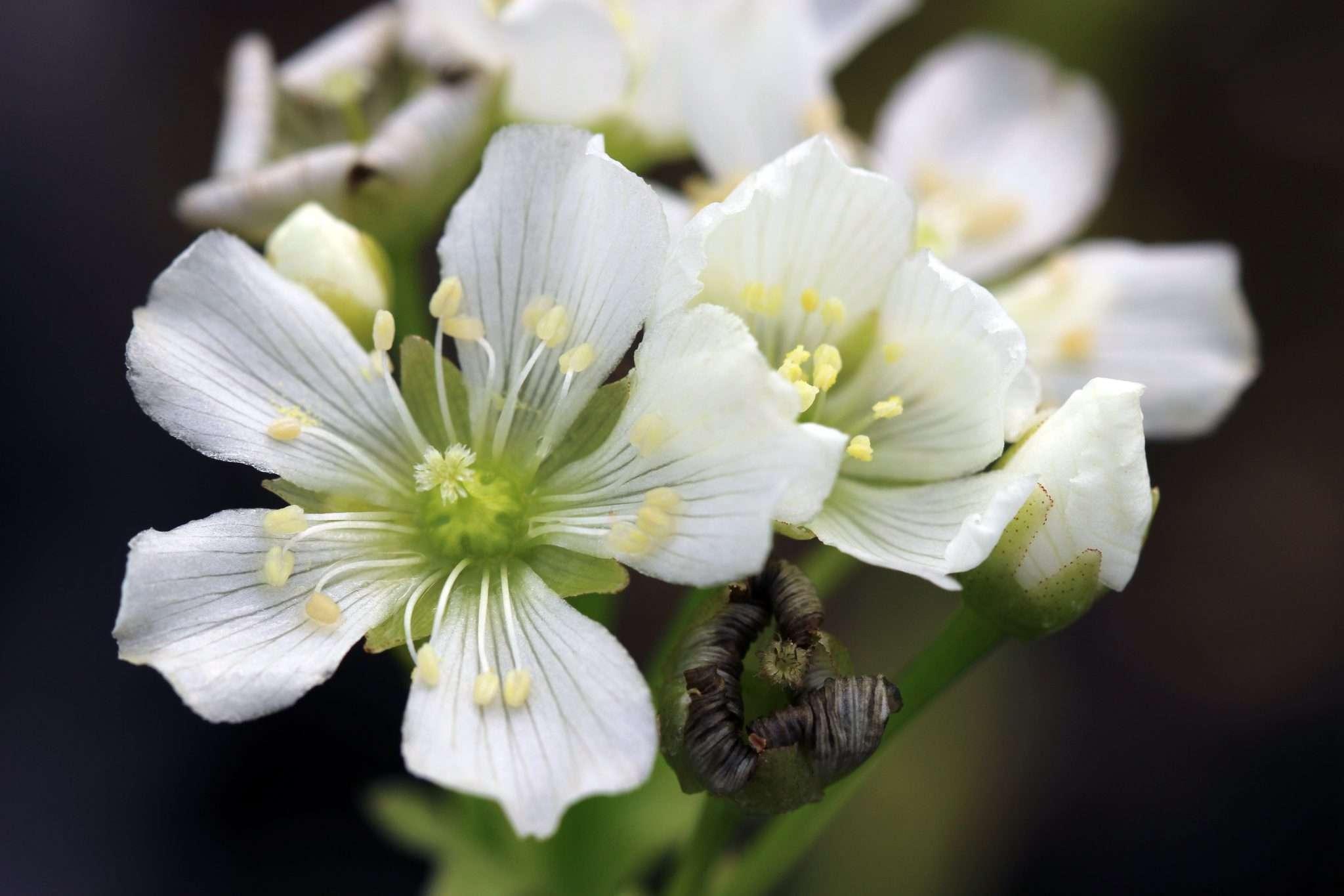 King Henry flower