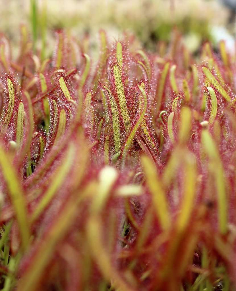 Drosera capensis Narrow Leaf sundew