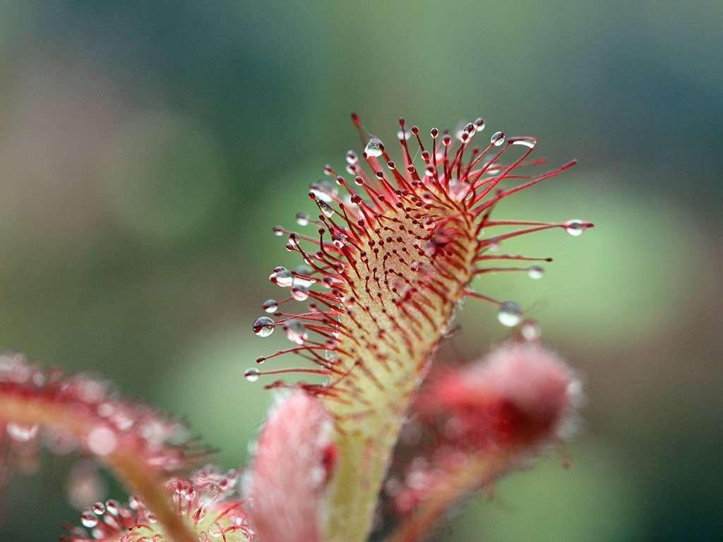 Drosera spatulata leaf closeup