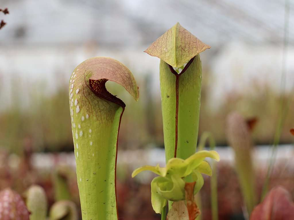 hood of a hooded pitcher plant