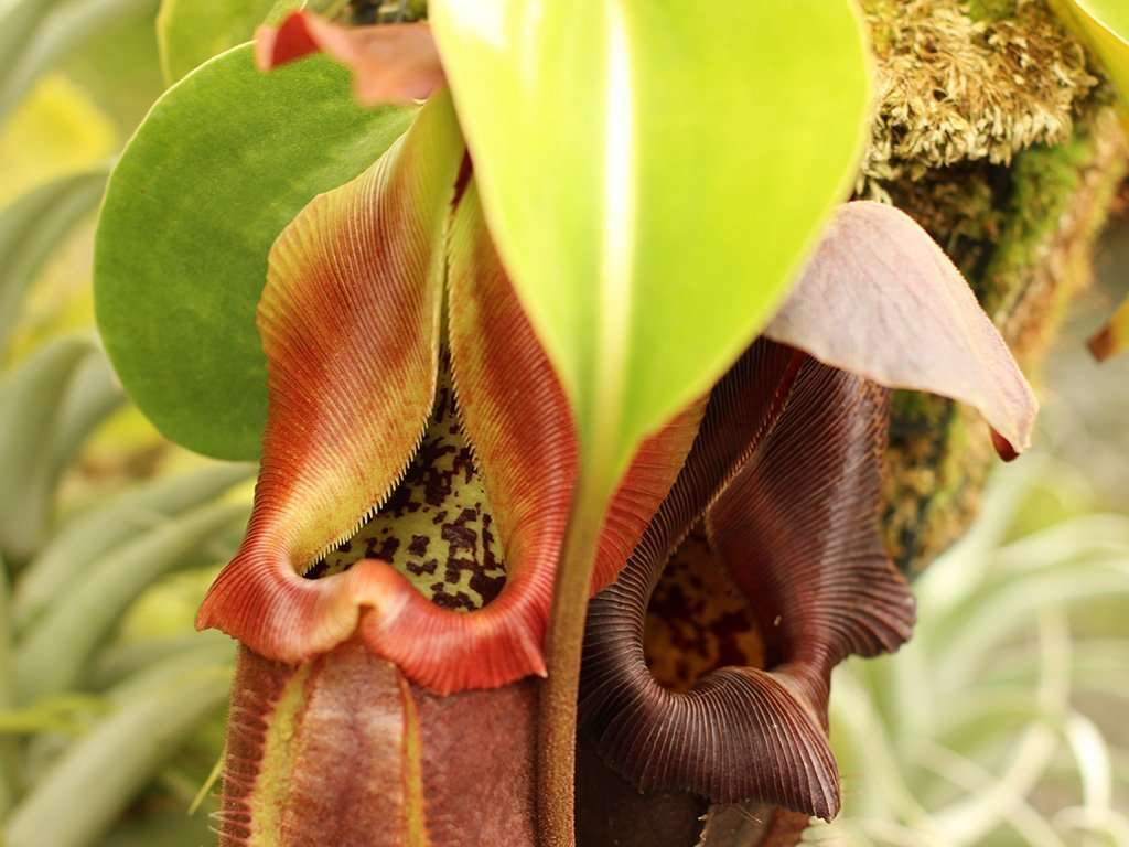 Nepenthes robcantleyi pitchers