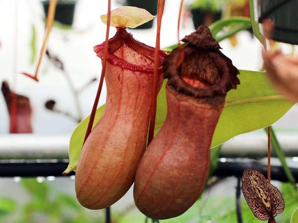 two Nepenthes ventricosa pitchers