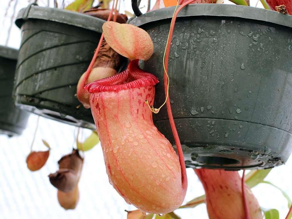 N ventricosa pitcher
