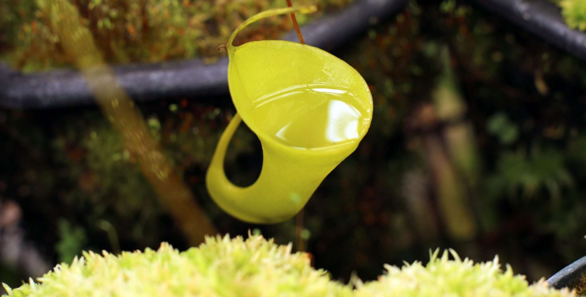 Nepenthes inermis pitcher filled with water