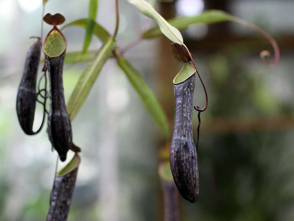 Nepenthes mikei pitchers
