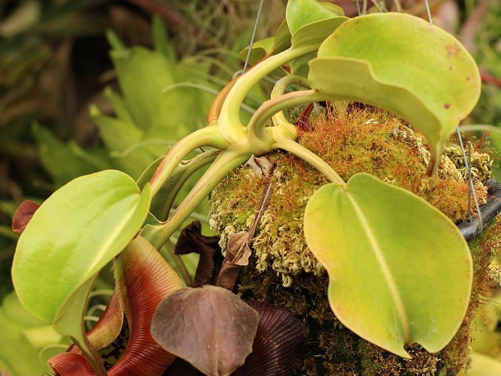 Nepenthes robcantleyi leaves
