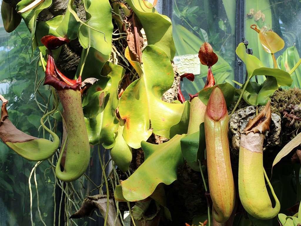 N. truncata plant