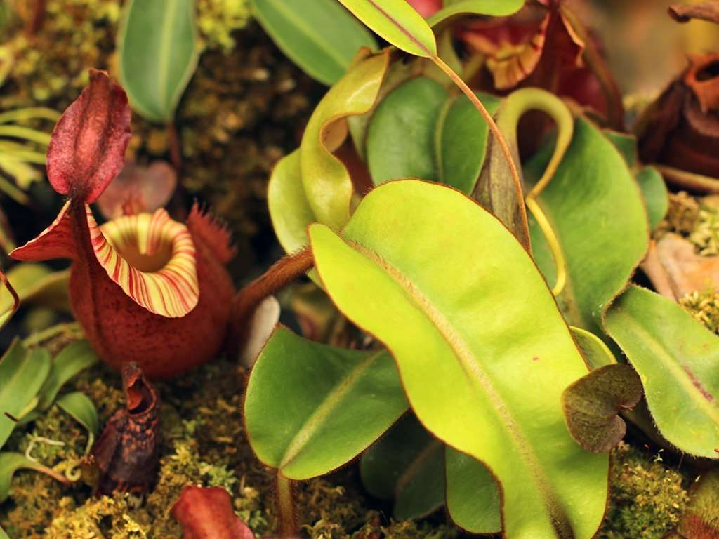 Nepenthes veitchii leaf