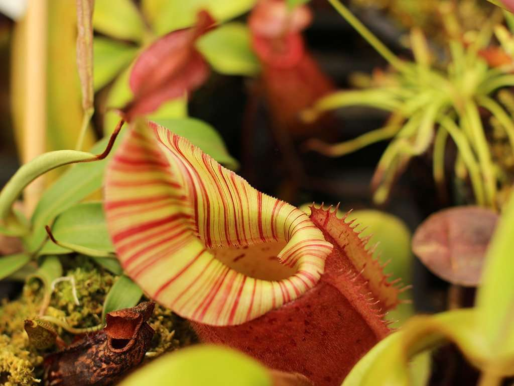 Nepenthes veitchii peristome