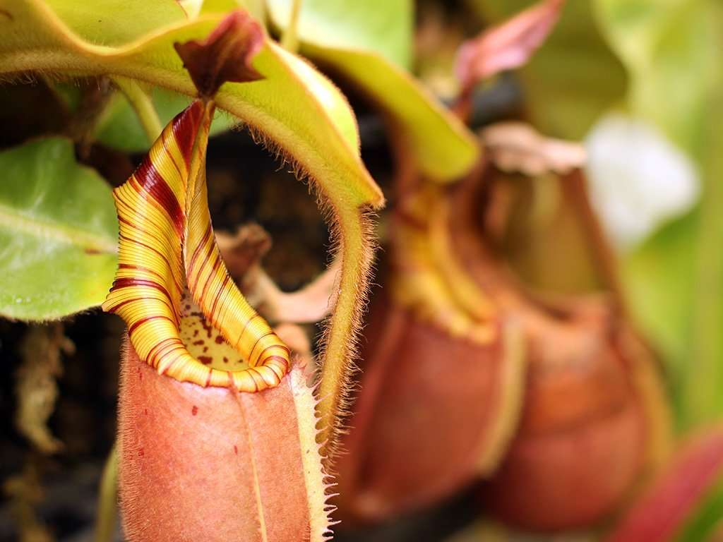 Nepenthes veitchii pitchers
