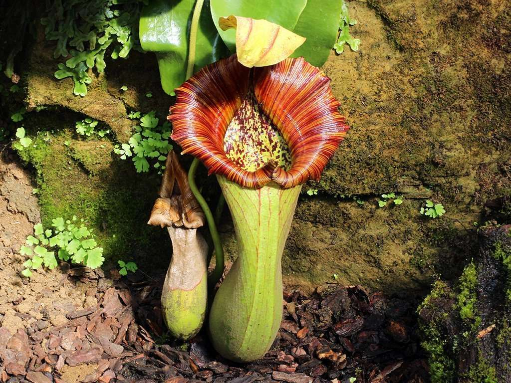 Nepenthes truncata pitchers
