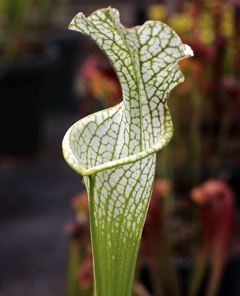 Sarracenia leucophylla Hurricane Creek white pitcher