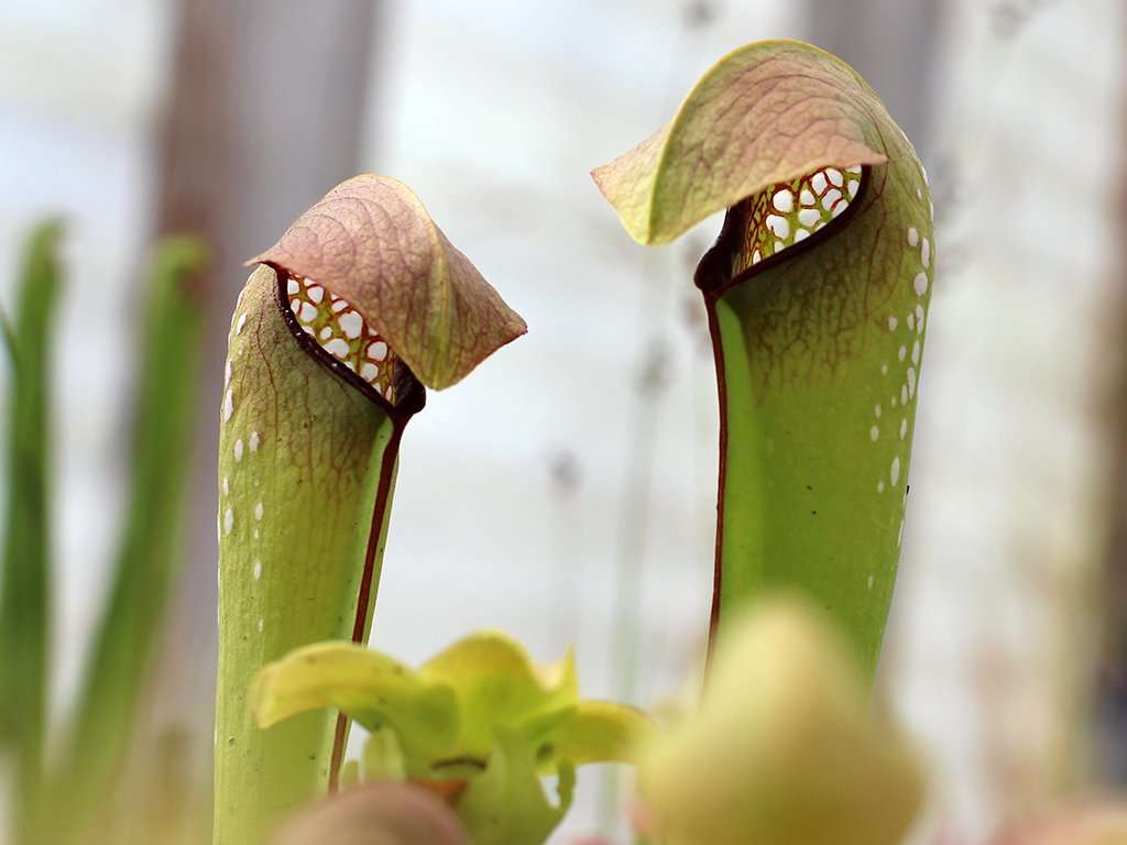 Sarracenia minor transparent windows