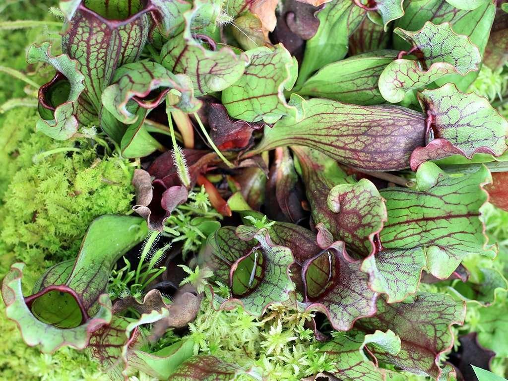 S purpurea pitcher plant