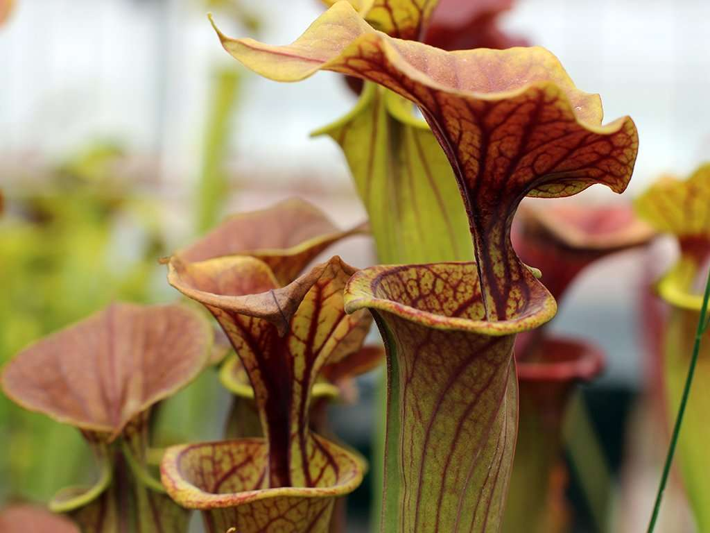 Sarracenia flava (bronze x coppertop) pitchers