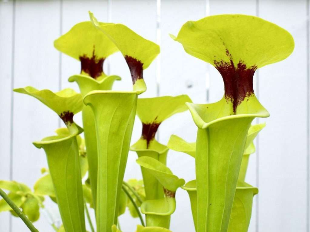 Sarracenia flava rugelii pitchers