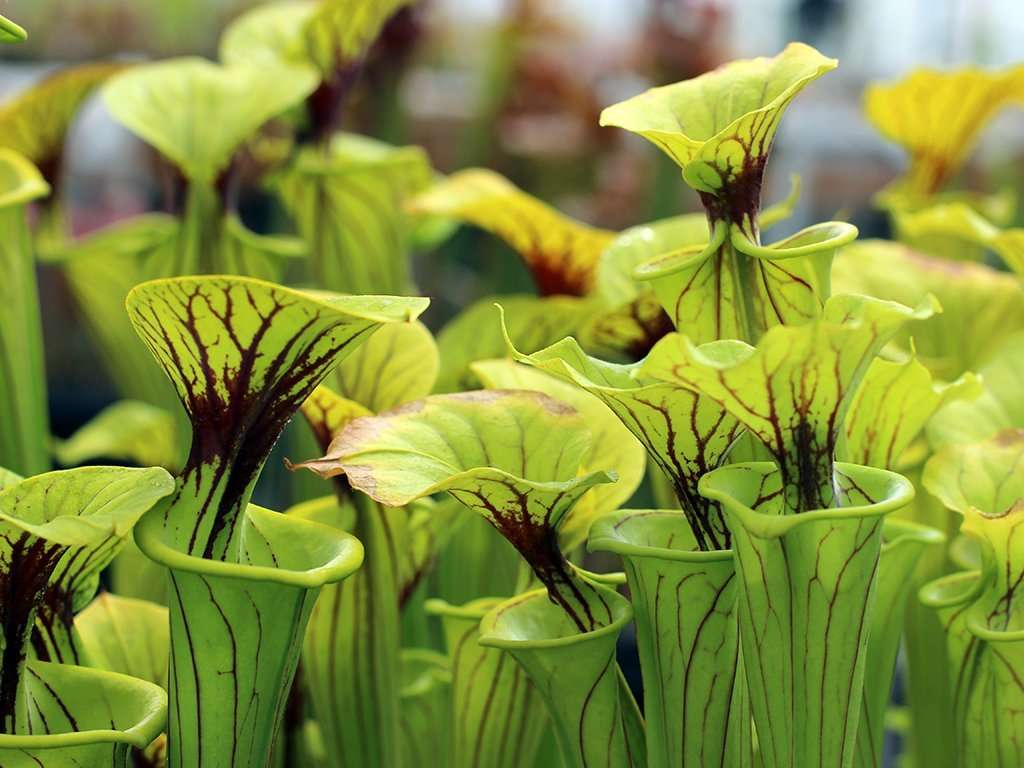 Sarracenia flava var flava pitchers