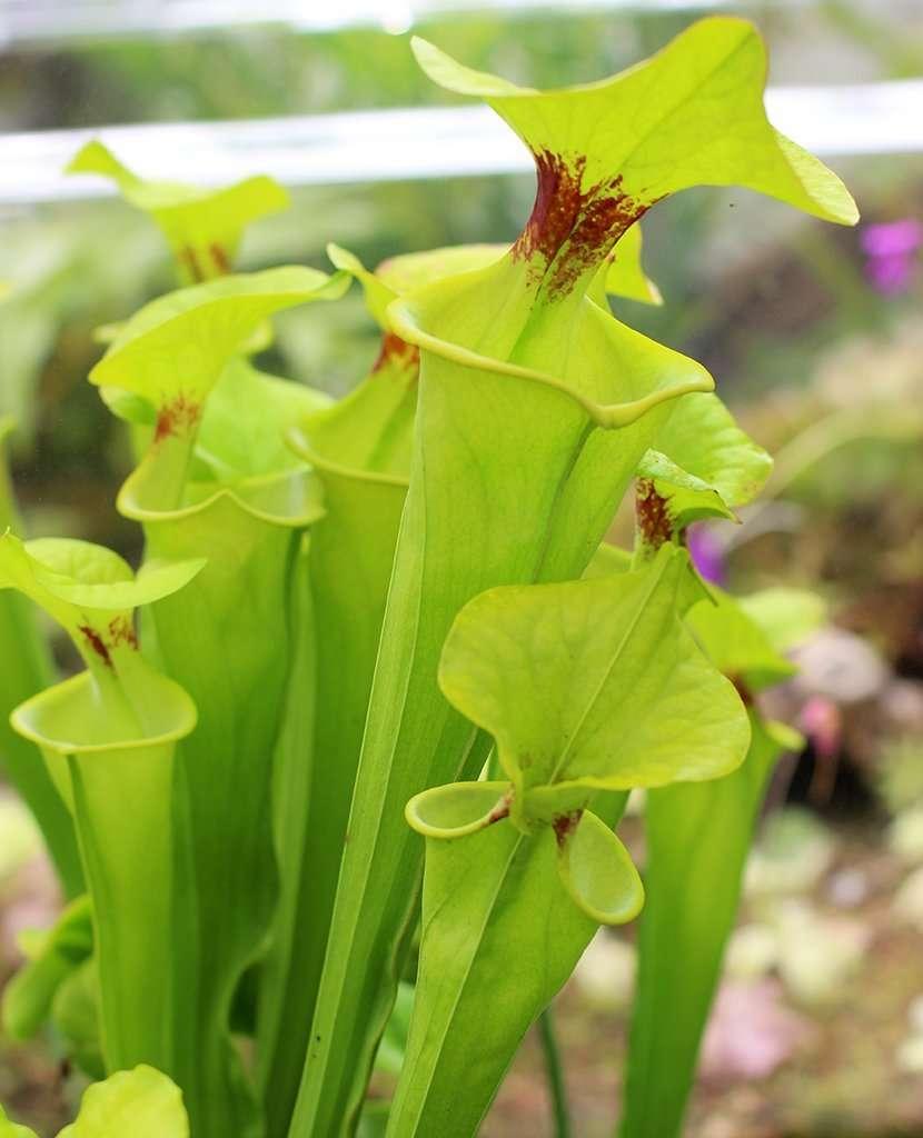 Sarracenia flava var rugelii pitcher plant