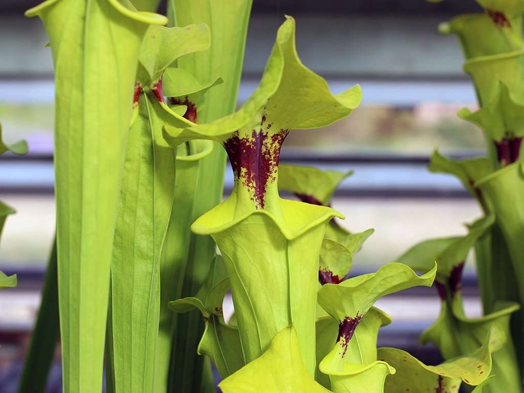 Sarracenia flava var. rugelii pitchers