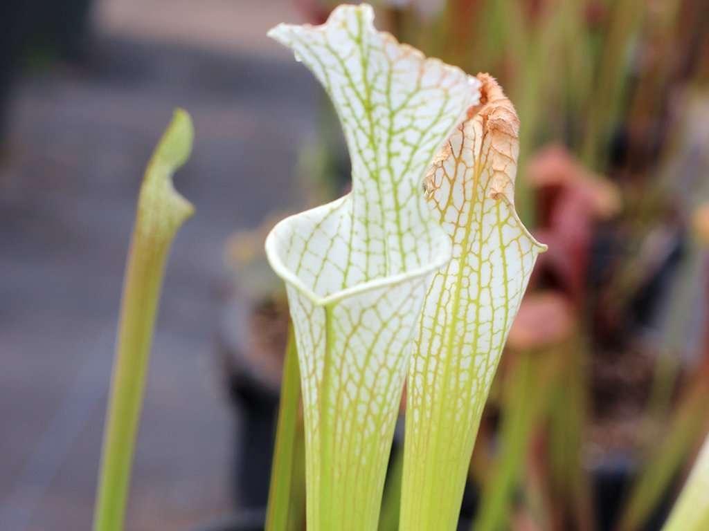 Sarracenia leucophylla var alba Hurricane creek white pitchers