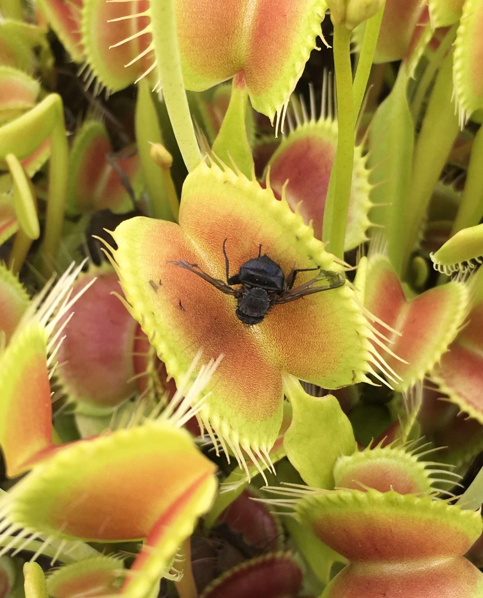 Venus flytrap King Henry