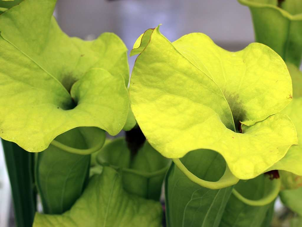 ruffled Sarracenia flava var rugelii lid