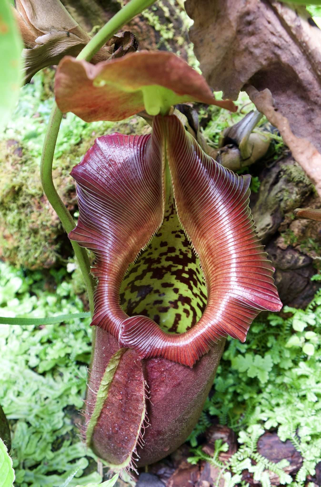 Nepenthes robcantleyi pitcher nestled in moss