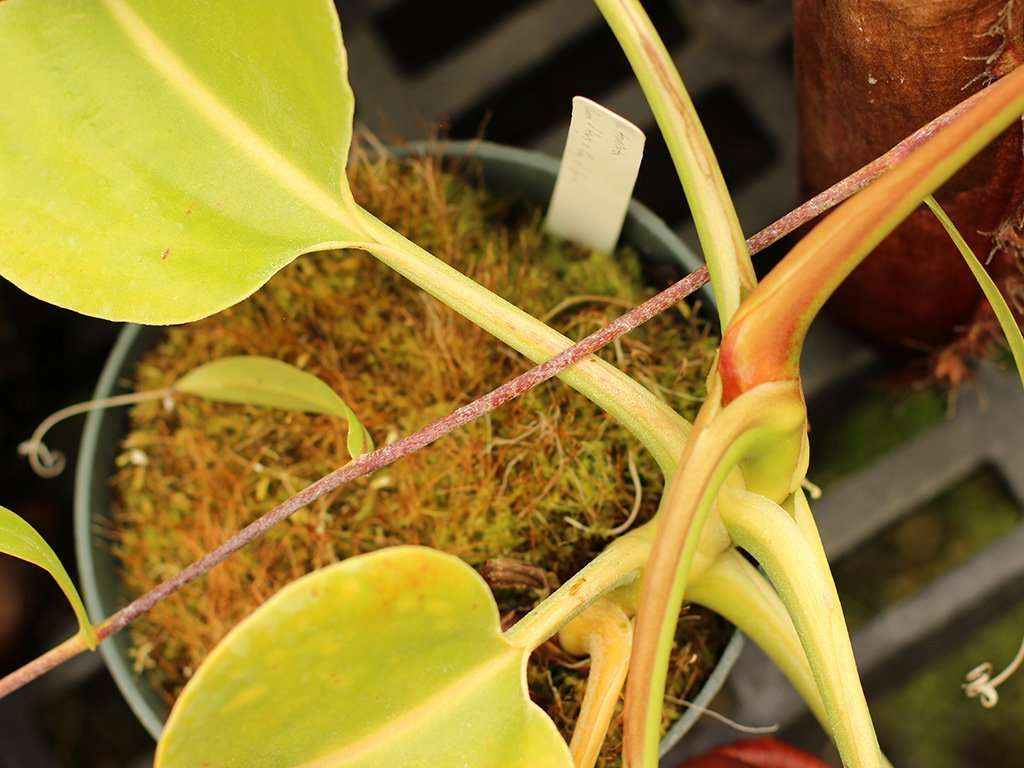 nepenthes robcantleyi stem