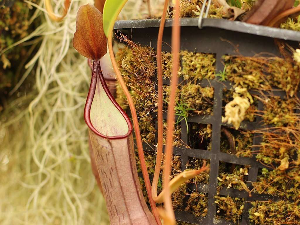 Nepenthes sanguinea pitcher