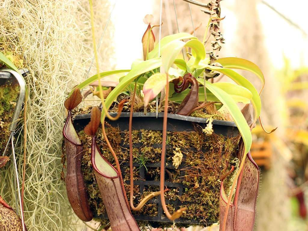 Nepenthes sanguinea plant
