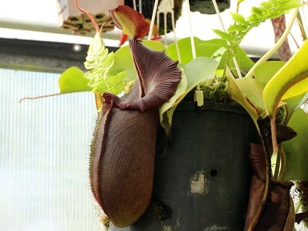 robcantleyi pitcher