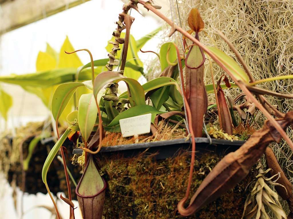 basket of nepenthes sanguinea