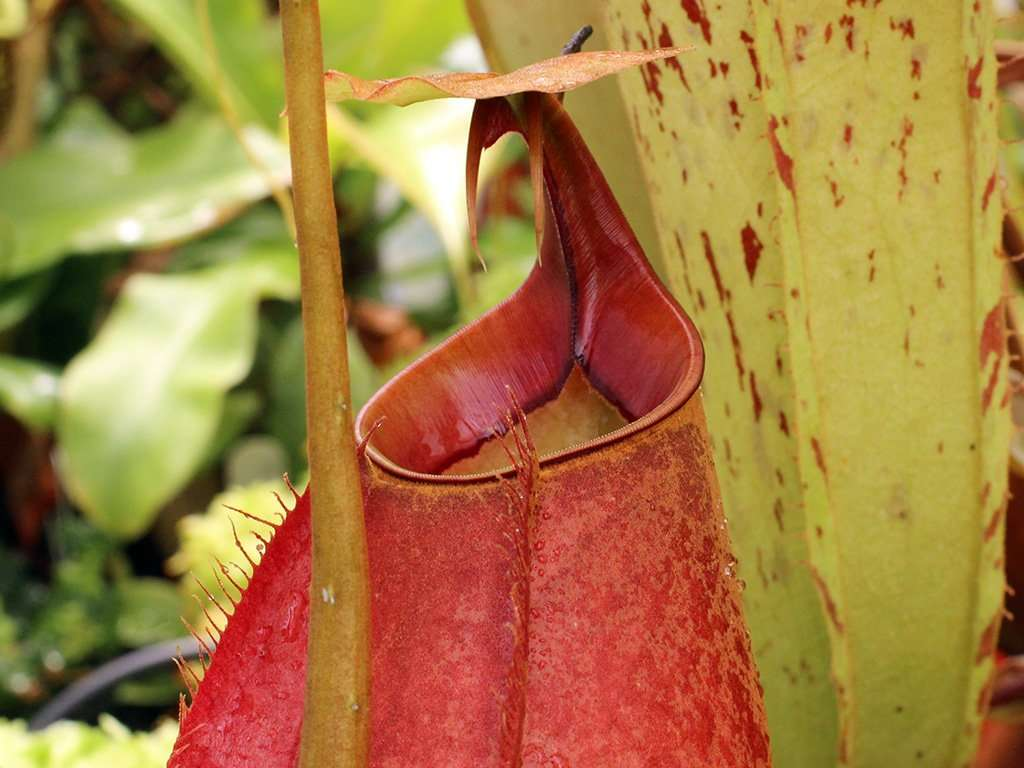 Nepenthes bicalcarata peristome