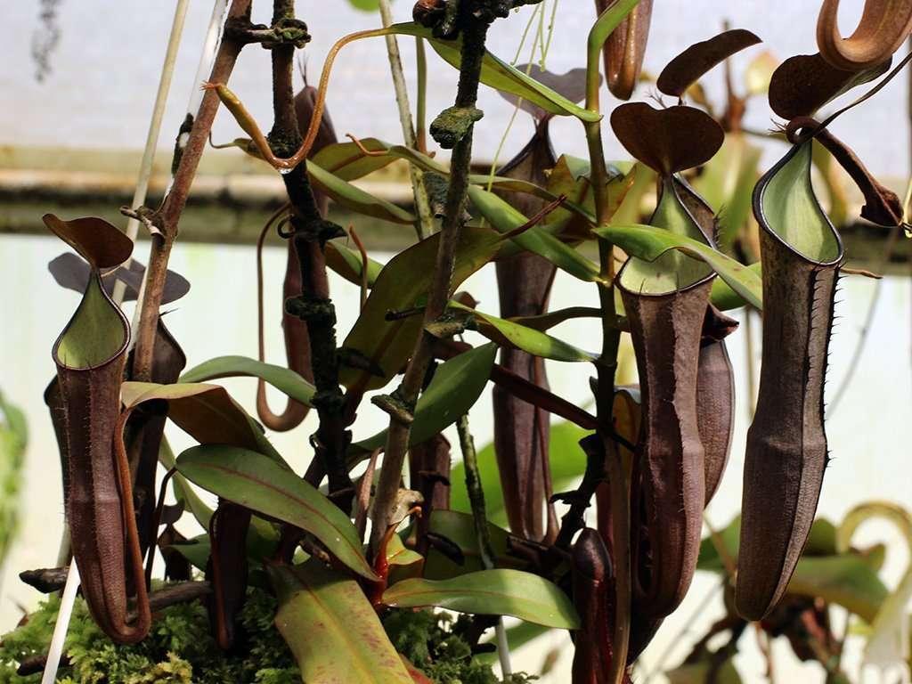 full ramispina plant