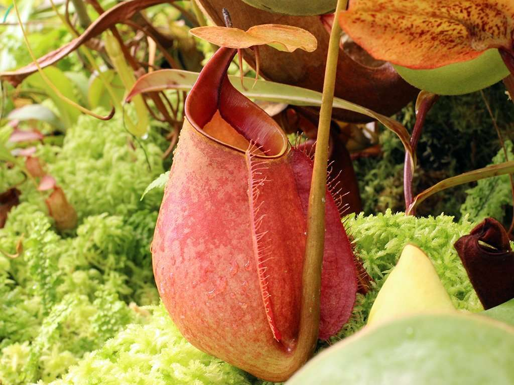 Nepenthes bicalcarata pitcher