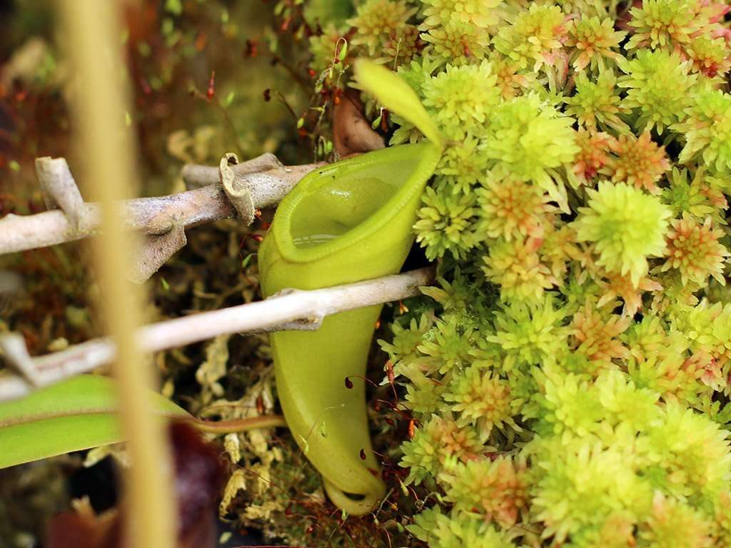 Nepenthes inermis lower pitcher