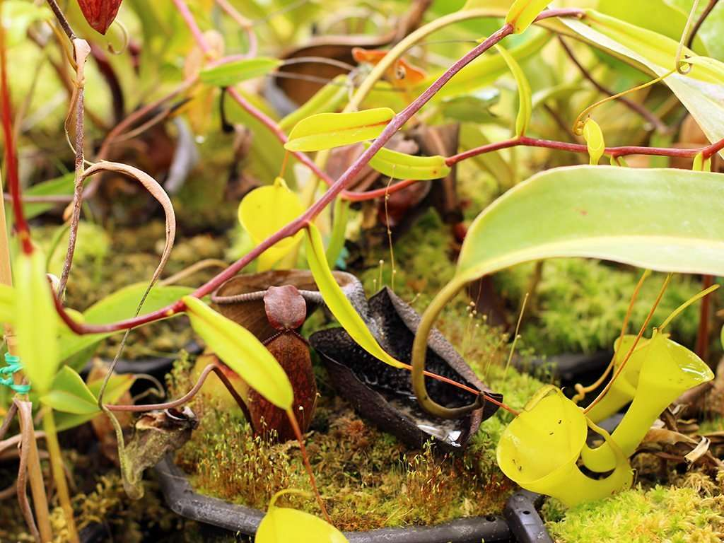 Nepenthes inermis stem and leaves