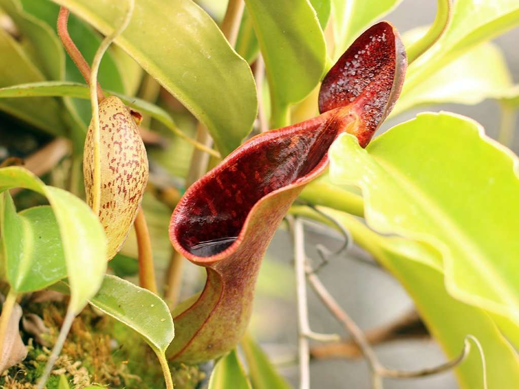 Nepenthes lowii upper pitcher