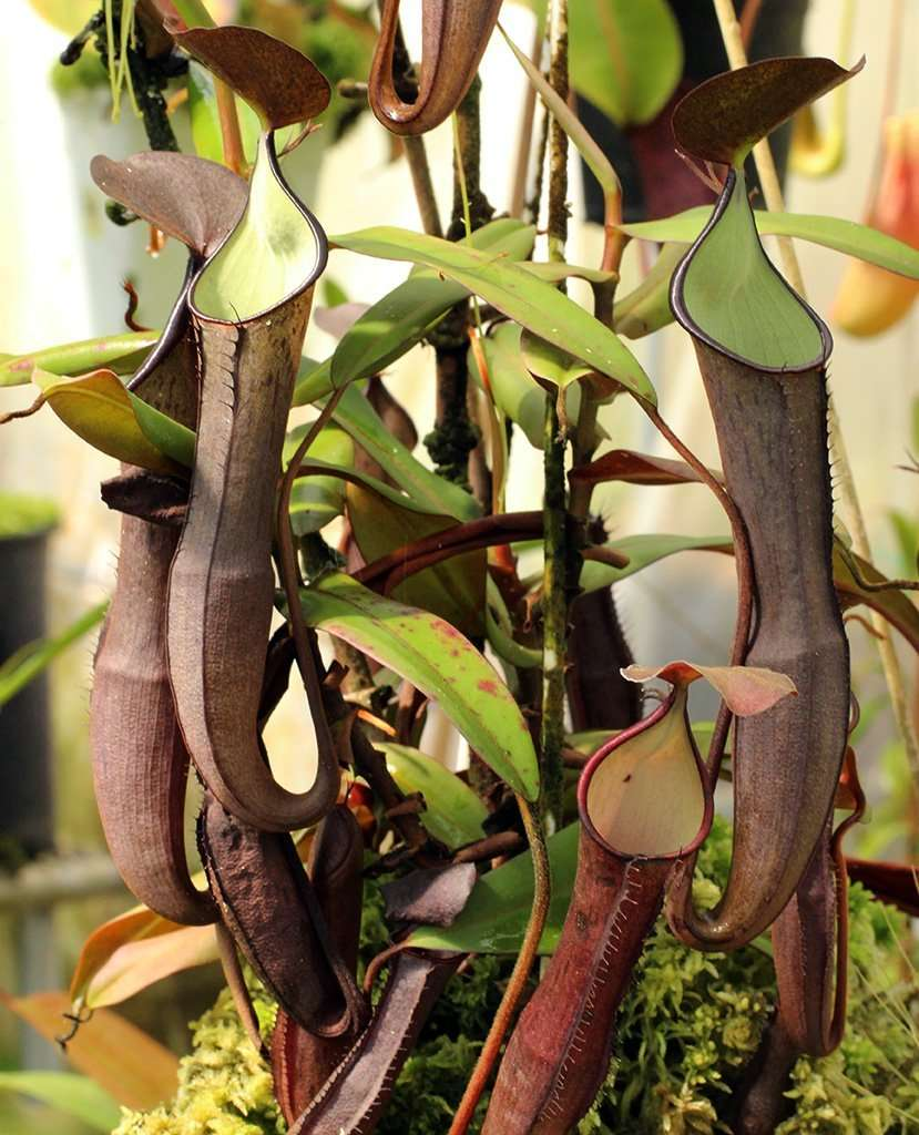 Nepenthes ramispina