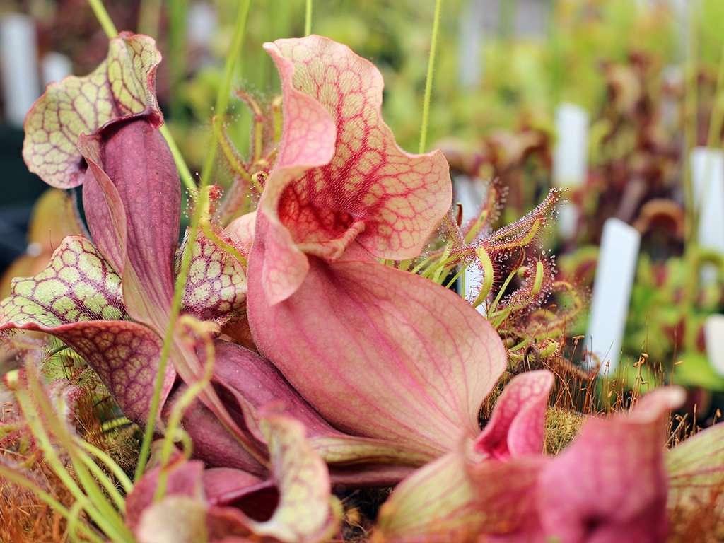 Pupurea pitcher plant pitcher