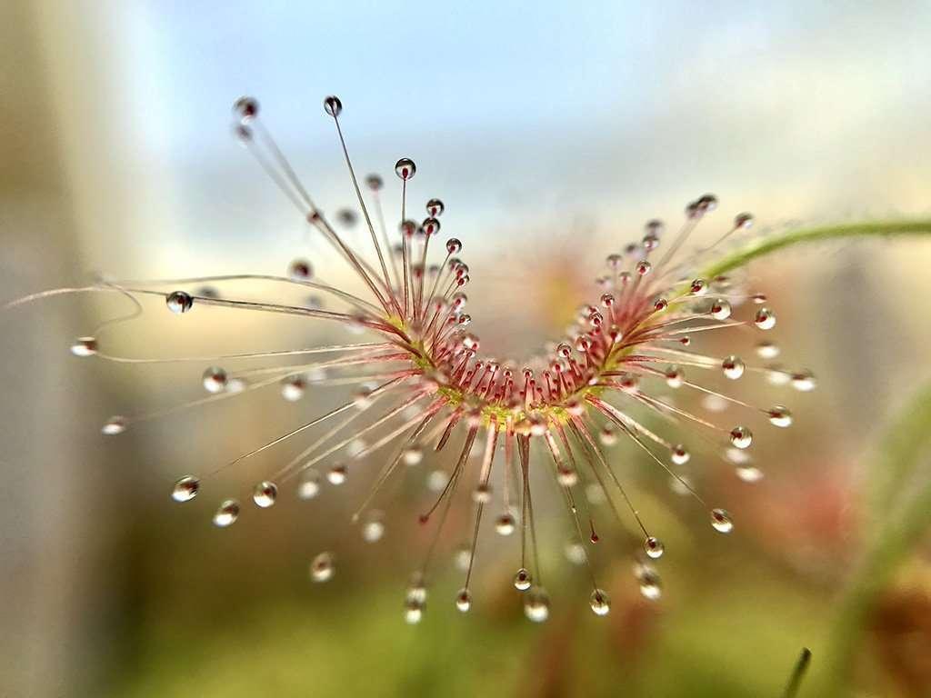 Drosera scorpioides leaf